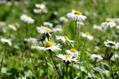Daisies in a field Stock Photography