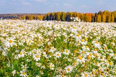 Daisies field Stock Photography