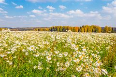 Daisies field Royalty Free Stock Image