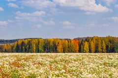 Daisies field Royalty Free Stock Images