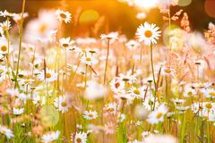 Daisies Field  bright Sunset Bokeh. Daisies Field Retro meadow bright sunrise Bokeh Royalty Free Stock Photos
