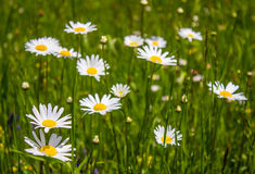 Daisies in the field Royalty Free Stock Images