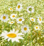 Daisies in a field closeup Royalty Free Stock Images