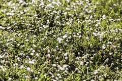 Daisies in the field. Detail of some flowers, spring, pollen Royalty Free Stock Photo