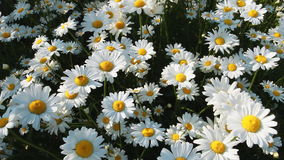 Daisies in a field stock video
