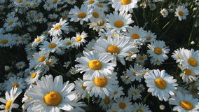 Daisies in a field Stock Images
