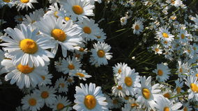 Daisies in a field Royalty Free Stock Photography