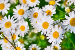 Daisies in the field. Flower background Royalty Free Stock Photo
