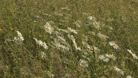 Daisies Field Grass Wind stock video footage