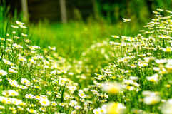 Daisies in a field Stock Photo
