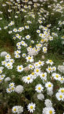Daisies in field Royalty Free Stock Image