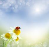 Daisies field and ladybug Stock Photo