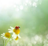 Daisies field and ladybug Royalty Free Stock Photo