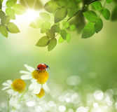 Daisies field and ladybug Stock Photography