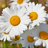 Daisies in a field, macro. Shot Royalty Free Stock Image