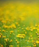 Daisies in a field, macro. Yellow daisies flower in a field, macro with blur background Stock Photo