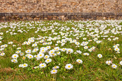 Daisies on a field Stock Photography