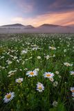 Daisies in the field near the mountains. Stock Photography