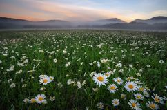 Daisies in the field near the mountains. Meadow with flowers and fog at sunset Stock Photo