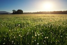 Daisies in the field near the mountains. Meadow with flowers at sunrise Royalty Free Stock Images