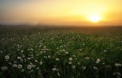 Daisies in the field near the mountains. Meadow with flowers at sunrise Stock Image