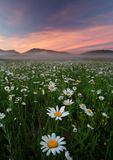 Daisies in the field near the mountains. Meadow with flowers and fog at sunset Stock Image