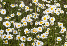 Daisies. Field of Daisies in Oregon countryside Royalty Free Stock Photography