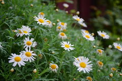 Daisies. Field of ox-eye daisies Stock Photography