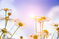 Daisies in the field Stock Image