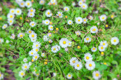 Daisies field in spring Royalty Free Stock Photos