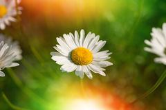 Daisies in the field Royalty Free Stock Photos