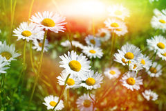 Daisies in the field Stock Photo
