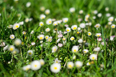 Daisies. Field of daisies on a sunny day Stock Photography