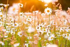 Daisies Field. At Sunset Stock Photos