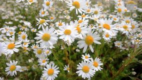 Daisies in a field sway in the wind. Beautiful summer sunny day. All field in white daisies.  stock video footage