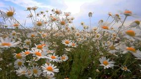Daisies in a field sway in the wind. Beautiful summer sunny day. All field in white daisies.  stock video