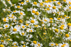 Daisies in the field Stock Photos