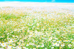 Daisies field up to distant horizon Royalty Free Stock Images