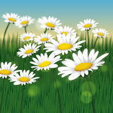 Daisies in a Field - Vector. A field of freshly grown Daisies enjoying the sun on a bright day in Spring Royalty Free Stock Image