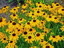 Daisies. A fields of daisies cultivated in a forest preserve nature center Stock Image