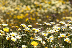 Daisies fiels background stock image