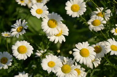 Daisies. In a filed, Winnipeg, Manitoba, Canada Stock Photography
