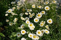 Daisies. In a filed, Winnipeg, Manitoba, Canada Stock Photo