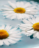 Daisies floating in water Royalty Free Stock Photos
