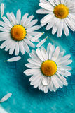 Daisies floating in water Royalty Free Stock Images