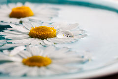 Daisies floating in water Stock Photo
