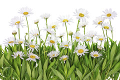 Daisies meadow isolated fragment Royalty Free Stock Photos