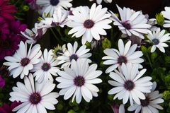 Daisies from the florist for sale Royalty Free Stock Photo