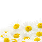 Daisies flower Stock Photography