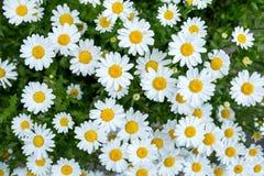 Daisies flower. Beautiful daisies in the garden stock photo